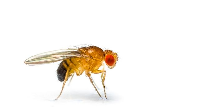 5 Creatures That Can Sense Danger and Disease in the Human Race Fruit Flies