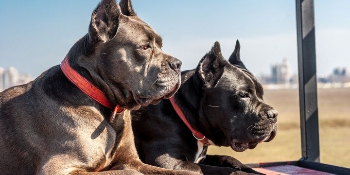 6 Dog Breeds That Impose the Greatest Danger Cane Corso