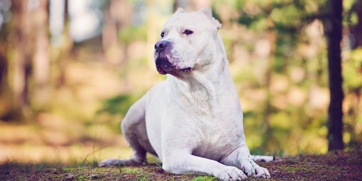 6 Dog Breeds That Impose the Greatest Danger Dogo Argentino